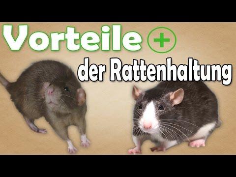 Vorteile der Rattenhaltung! Welche Vorteile bringt die Haltung von Ratten mit sich? Aufklärung