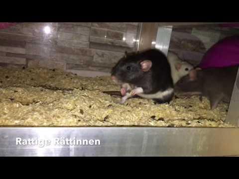 Rattige Ratten