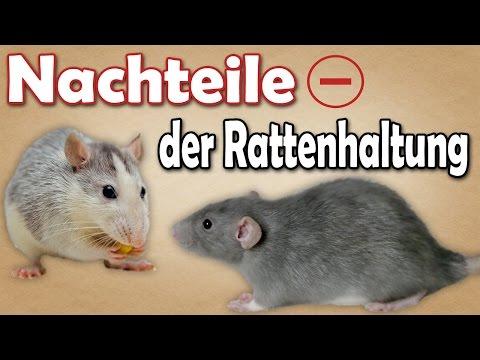 Nachteile der Rattenhaltung! Welche Nachteile bringt die Haltung von Ratten mit sich? Aufklärung