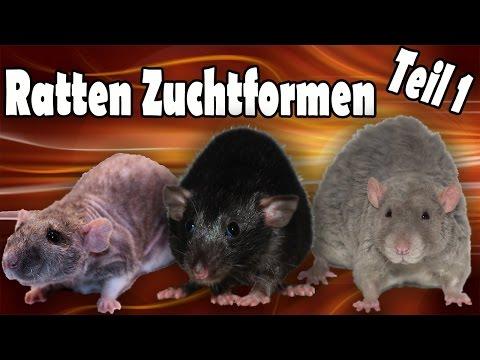 Ratten Zuchtformen/Qualzuchten Teil 1