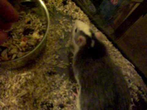 kranke Ratte, was hat sie?