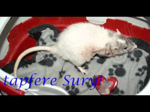 Ratte mit riesem Tumor, vor und nach der Operation