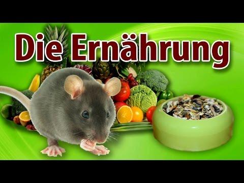 Rattenhaltung aber RICHTIG: Die Ernährung