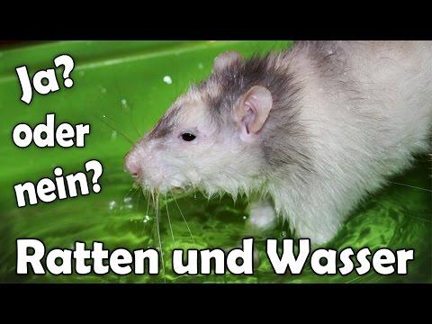 Ratten und Wasser! Darf man Ratten baden lassen? Aufklärung