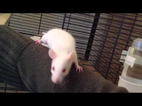 Baby Ratte unternimmt ersten Ausflug auf den Arm