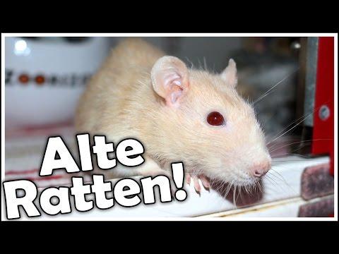 Alte Ratten! Worauf sollte ich achten? Wie kann ich ihnen den Alltag erleichtern? Tipps