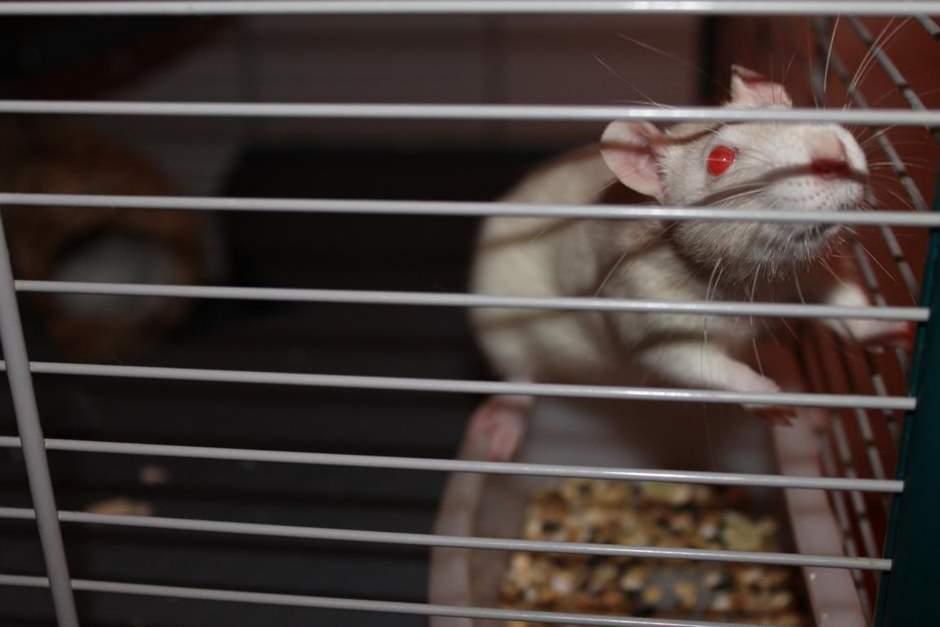Ratten Züchter