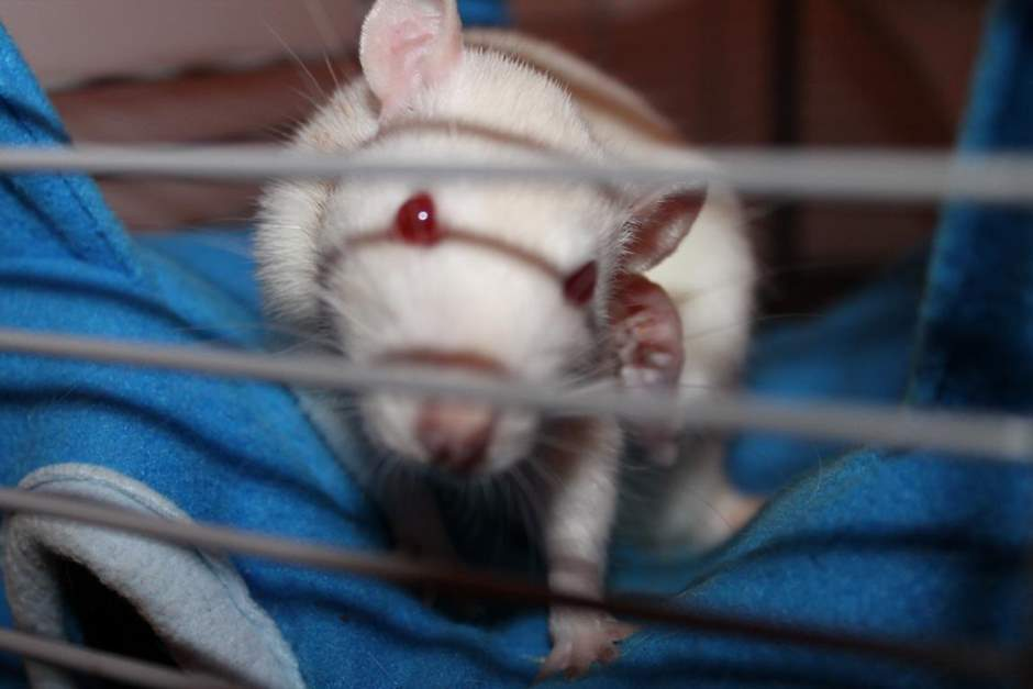 Albino Ratte putzt sich