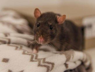 Ratten Krankheiten