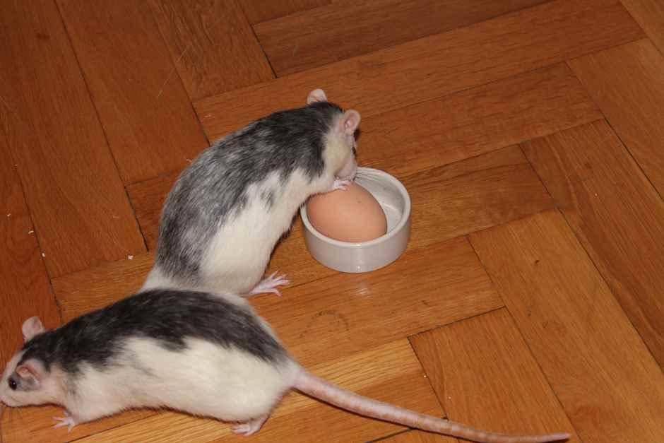 Ratten Haltung