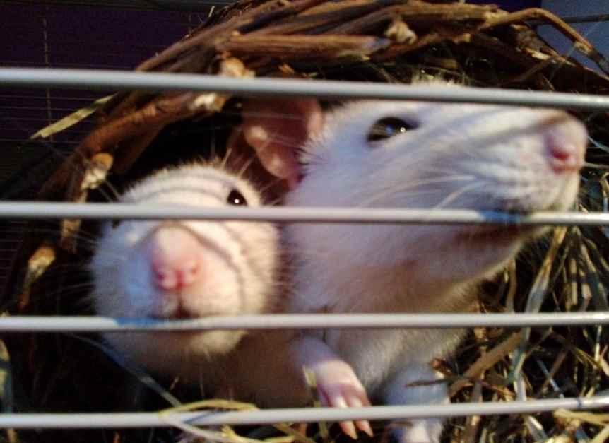 Ratten Rassen