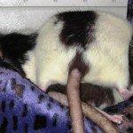Black Hood Ratte