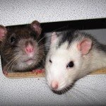 Graue und Husky Ratte