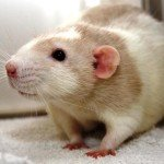 Siam Ratte