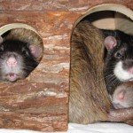 Ratten Hütte