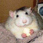 Husky Ratte essen
