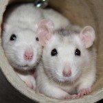 zwei Husky Ratten