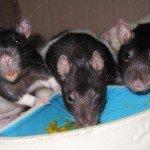 drei Black Hood Ratten beim fressen