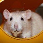 Siam Ratte essen