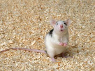 Rattenspielzeug für Farbratten