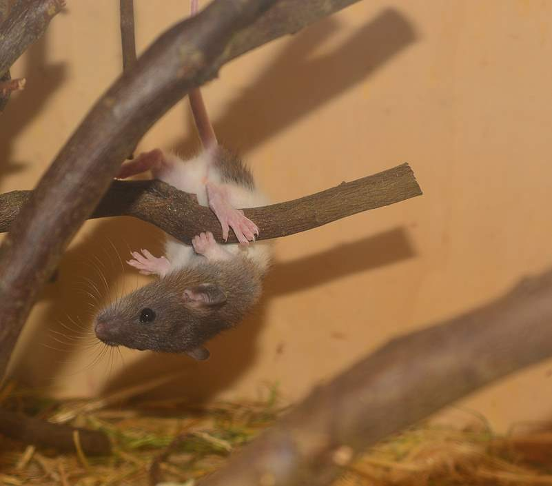 Süße Ratte klettert überkopf