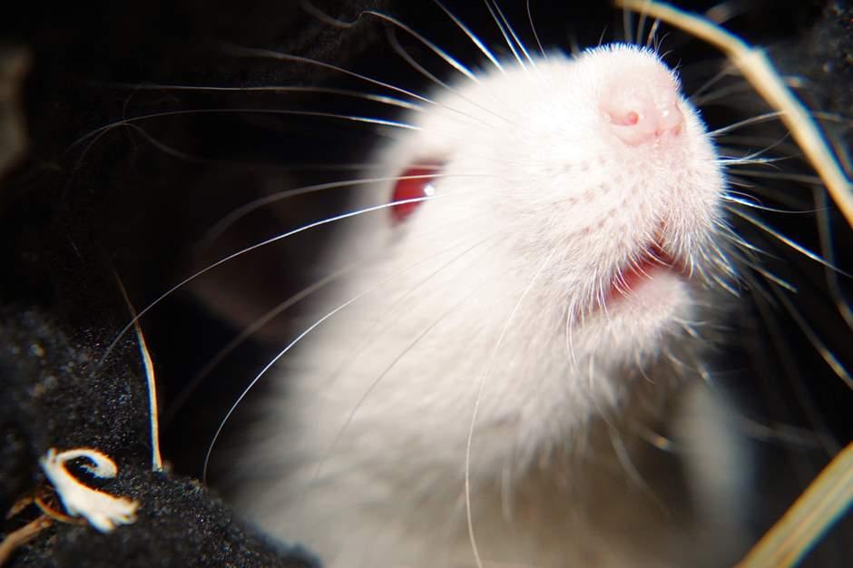 Nahaufnahme einer Albino Ratte