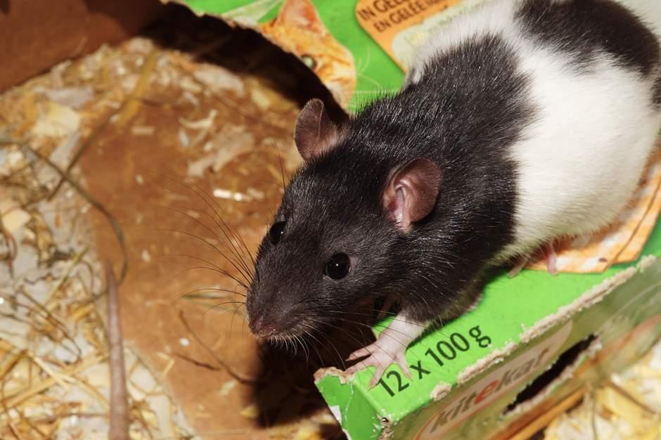Ratte mit Black Hood
