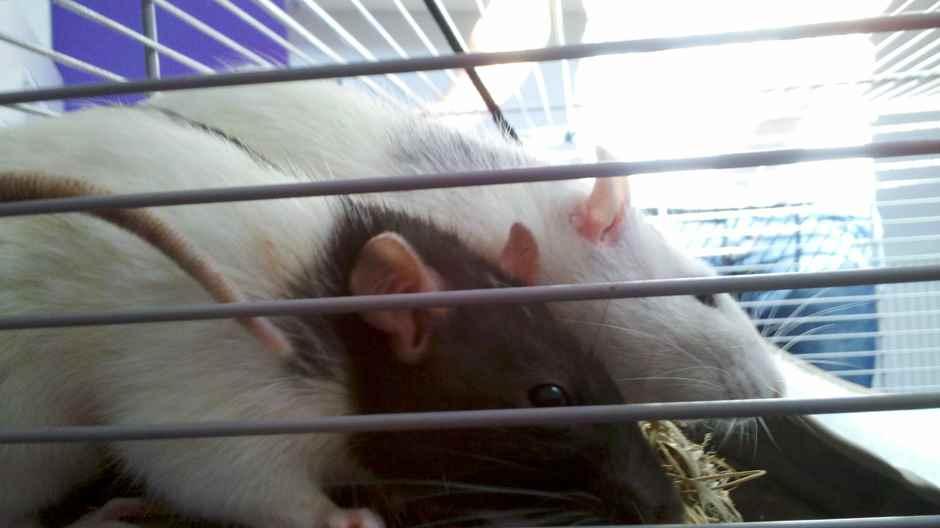 Ratten Vergesellschaften - Ratten Biologie