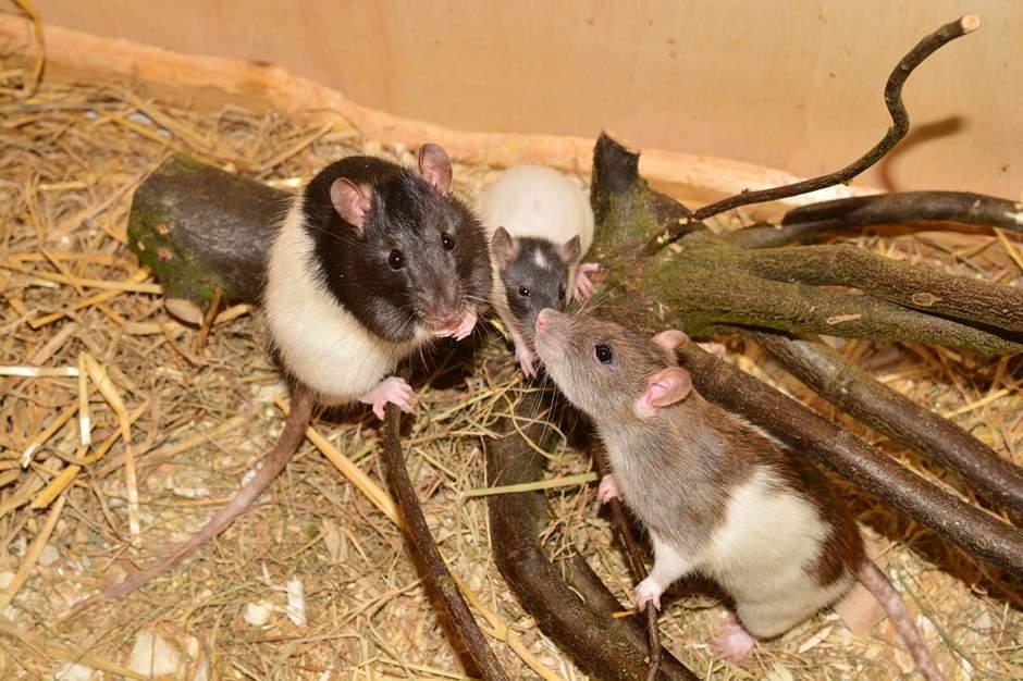 Drei Ratten mit schwarzem Kopf