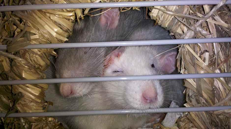 Fortpflanzung Ratten