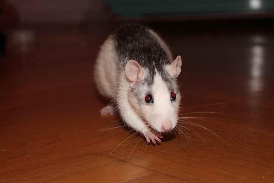 Ratten Transportbox