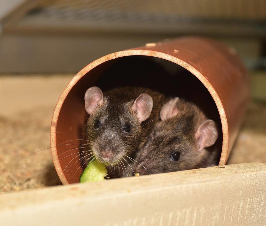 Ratten Tunnel