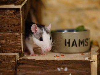 Ratten Futter Napf