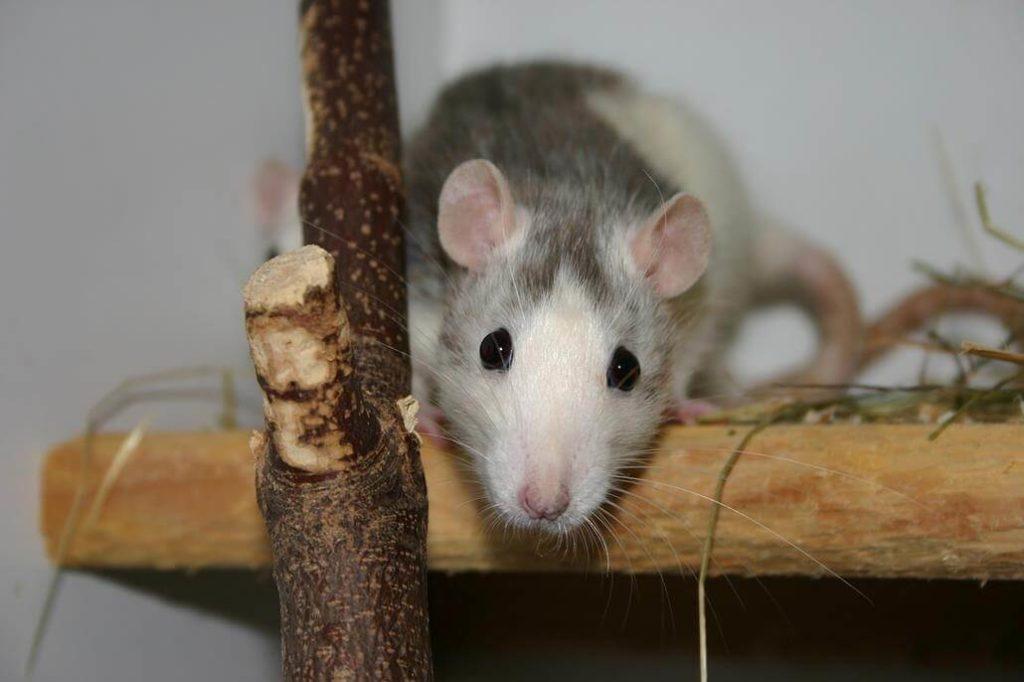 Ratte Husky