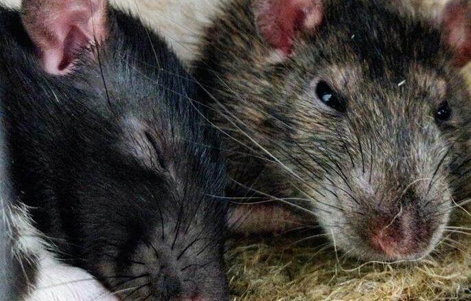 Ratten schlafen