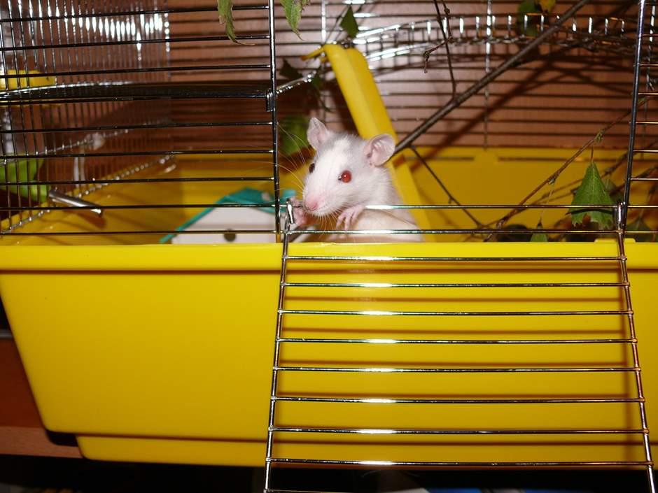 Rattennamen für Albino Ratte im gelben Käfig
