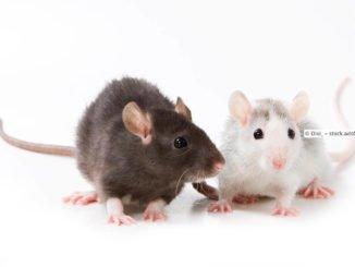 Rattennamen für Männchen und Weibchen