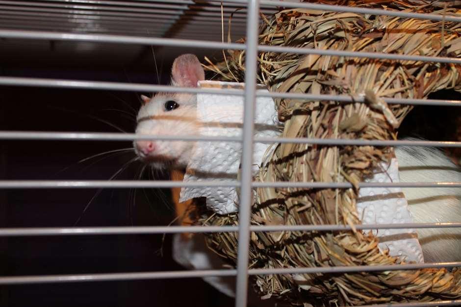 Dumbo Ratten Ohr