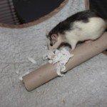 Huskyratten un die Küchenrolle