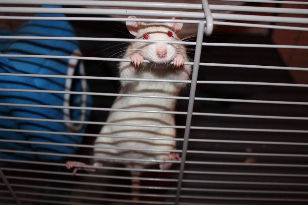 Siam Ratten