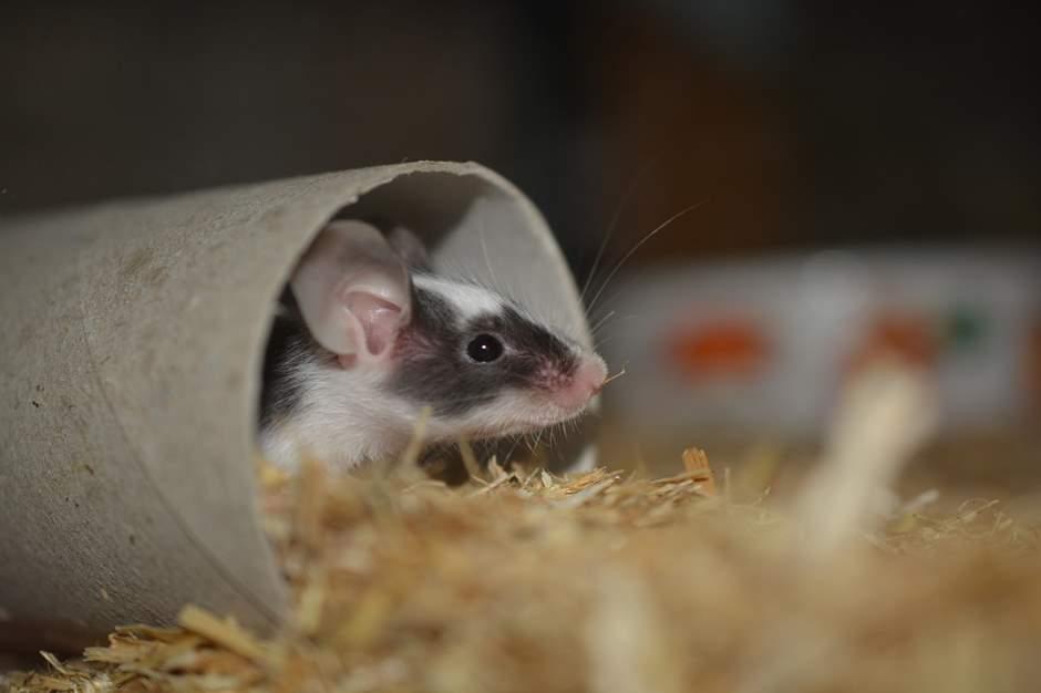 Junge Maus schaut aus der Röhre