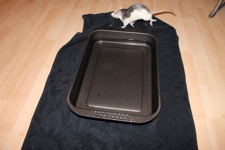 Ratten können schwimmen