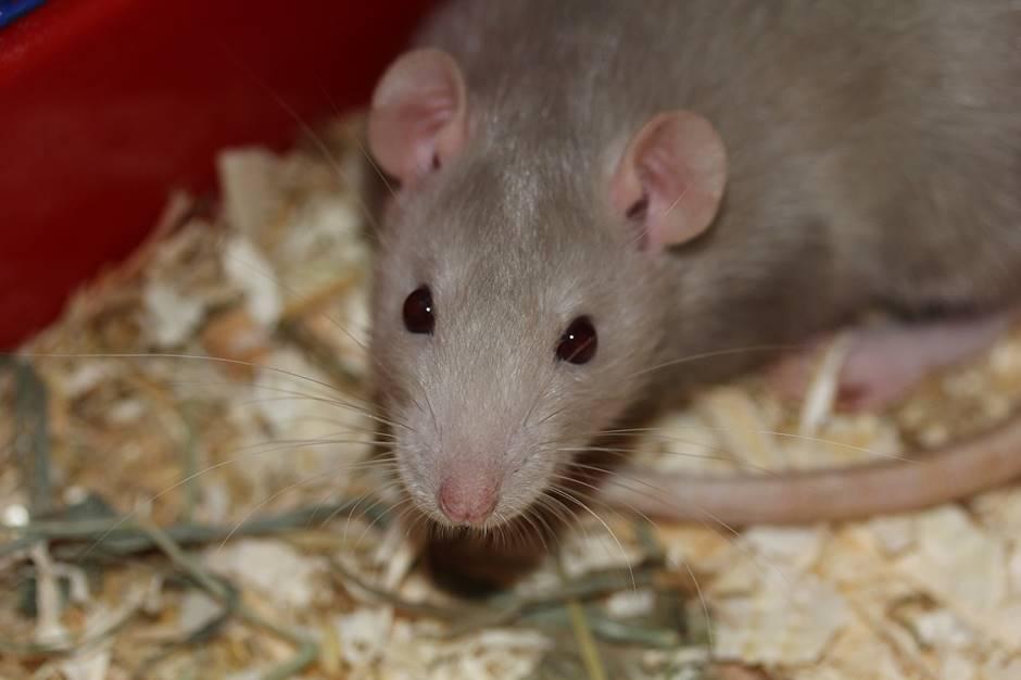 Ratte niest und hat schnupfen
