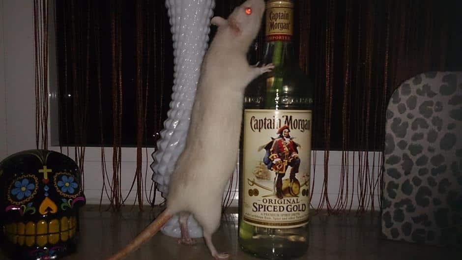 Nachtaktive Albino Ratte mit Captain Morgan Flasche