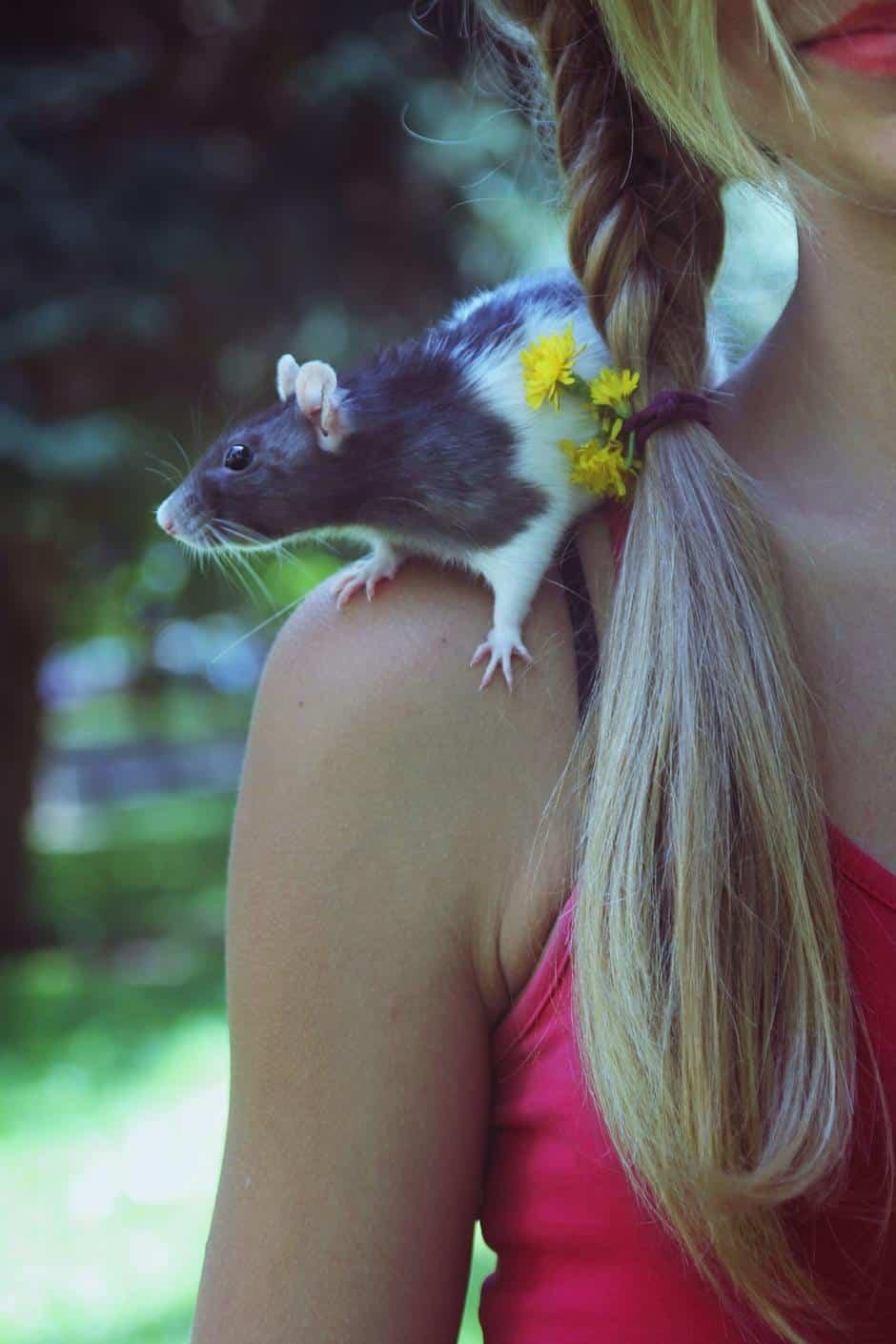 Zahme Ratte Schulter