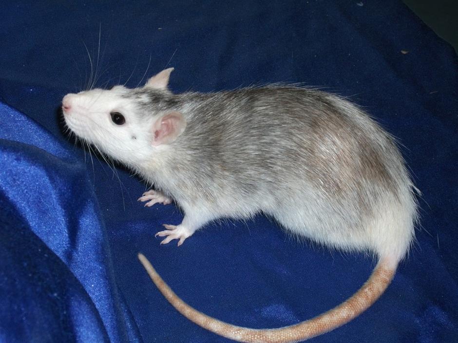 Husky Ratte blauer Untergrund