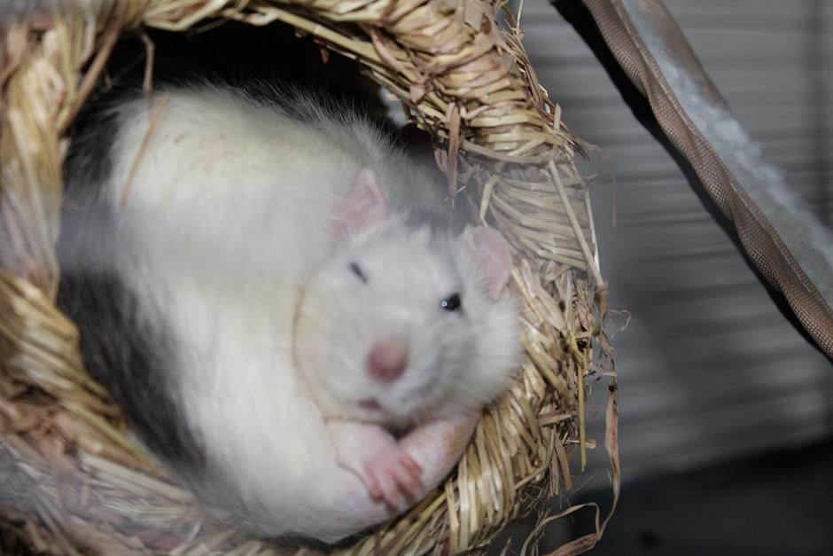 Husky Ratten kuscheln im Nest