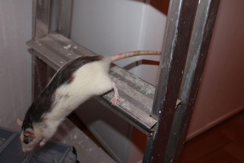 Huskyratte auf der Leiter