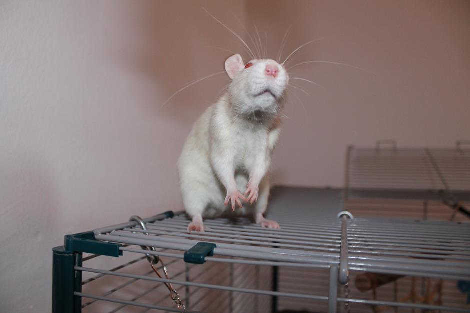 Albino Ratte macht Männchen