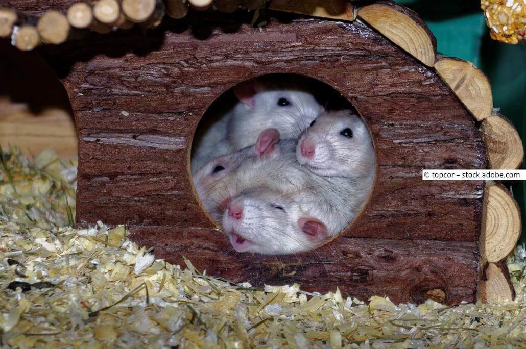 Rattennamen weiblich